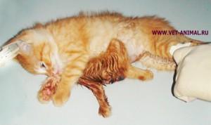 Подобный феномен встречается и в животном мире. На фоне 6-ти лапый котенок Зита из Казахстана.